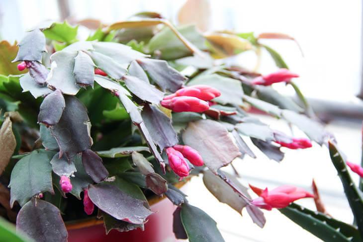 cactus rojo y verde de Navidad
