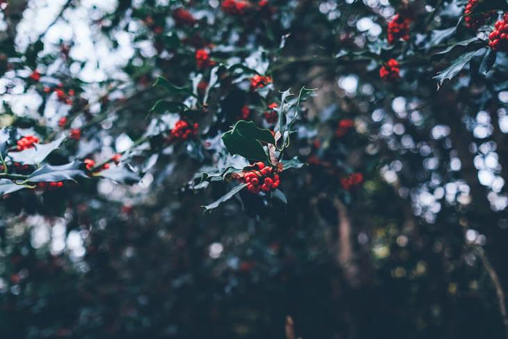 acebo de Navidad hojas