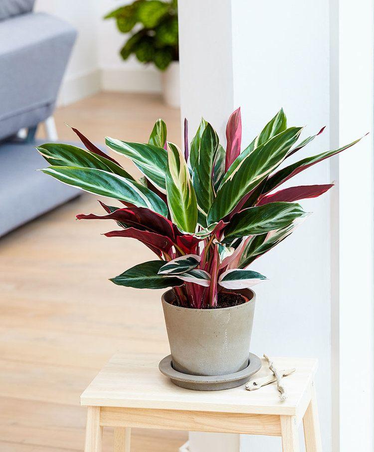 Calathea con hojas rojas