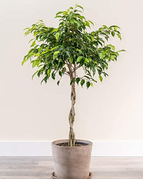 Ficus benjamina, una planta de interior