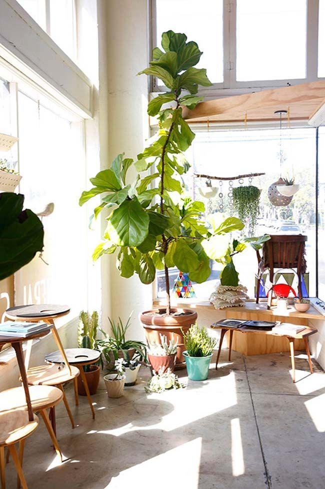 Ficus lyrata en el interior de una vivienda