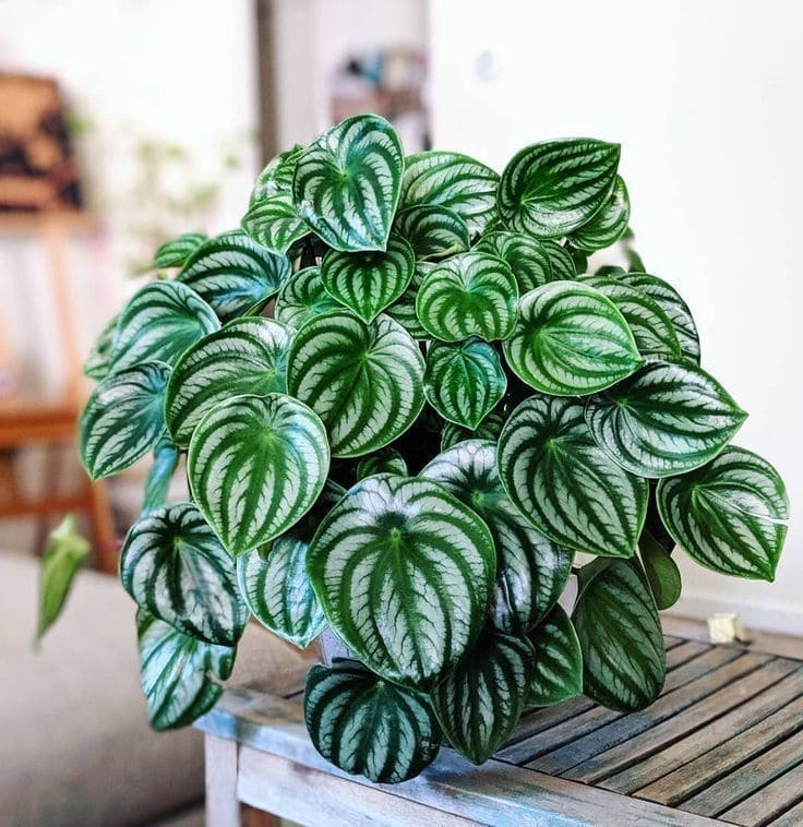 PEperomia frondosa y de color verde intenso
