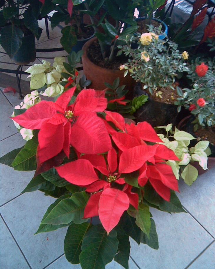 Plantas en diciembre preparando la navidad handfie - Que cuidados necesita la flor de pascua ...