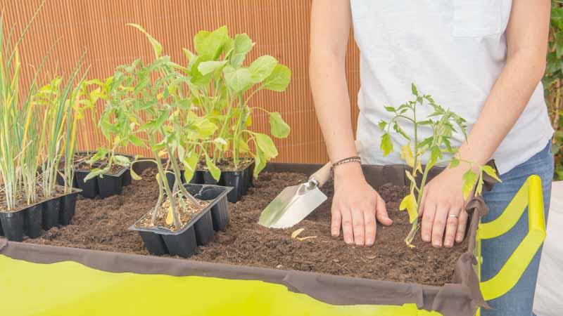Compactado de la tierra sobre las plantas en la mesa de huerto urbano
