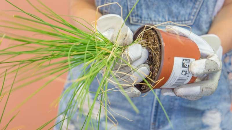 Plantado de una planta en el huerto urbano