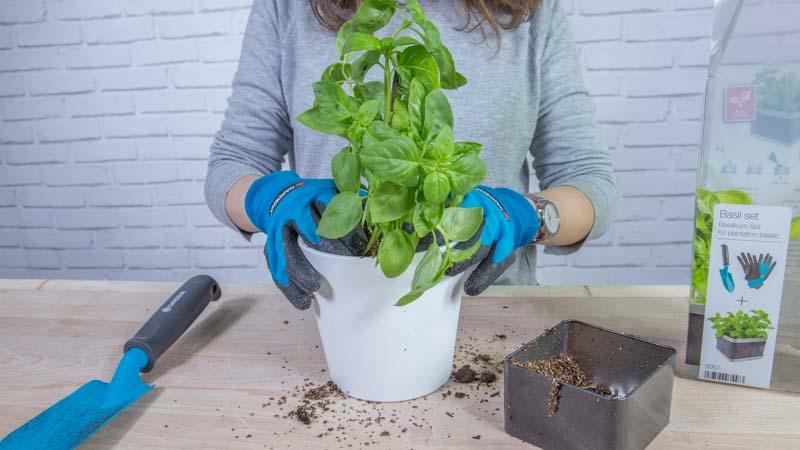 Planta de albahaca del basil set de Gardena