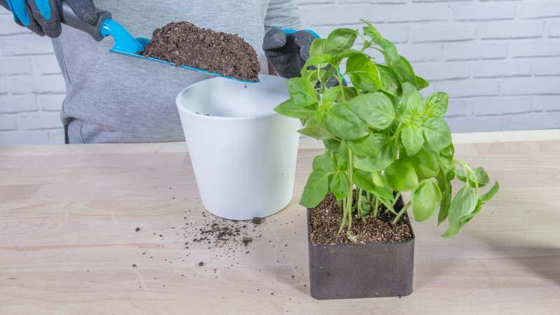 Proceso para plantar albahaca en casa