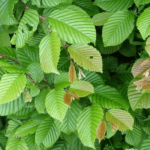 Carpe o Abedulillo. Carpinus betulus.