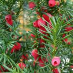 Tejo común. Taxus baccata.