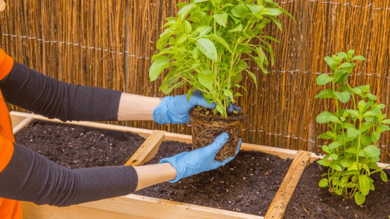 Plantar las aromáticas en el huerto