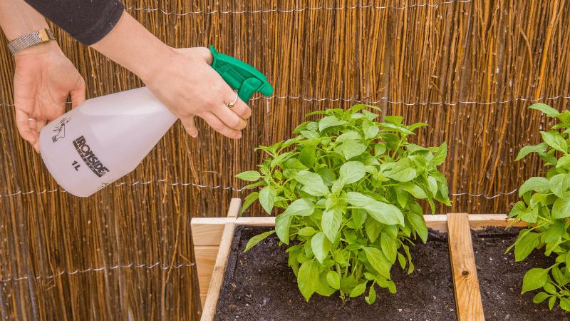 Pulveriza las plantas aromáticas del huerto con fertilizante