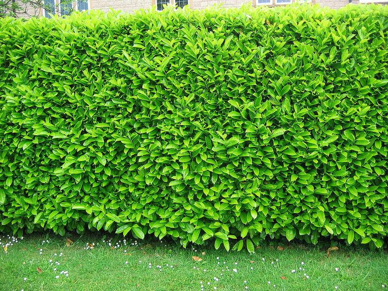 Seto verde bien podado