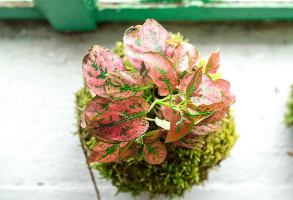 Kokedama planta rosa arte floral japonés