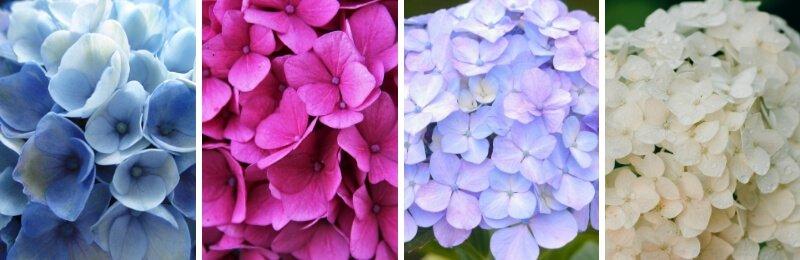 Colores de las hortensias: azul, rosa, morado y blanco