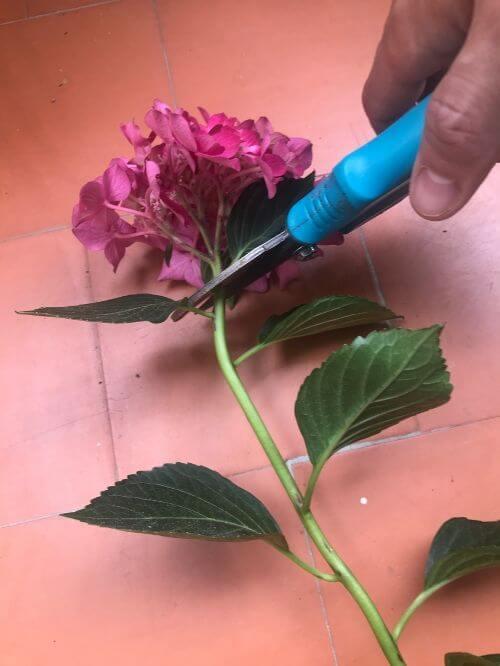 Cortar la flor de la rama de la hortensia