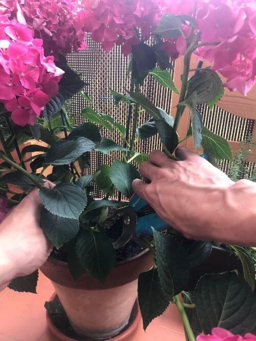 Cortar una rama de hortensia para hacer esqueje