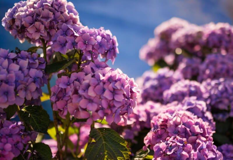 Hortensias lilas