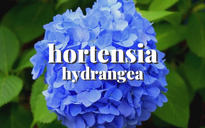 Guía completa sobre hortensias