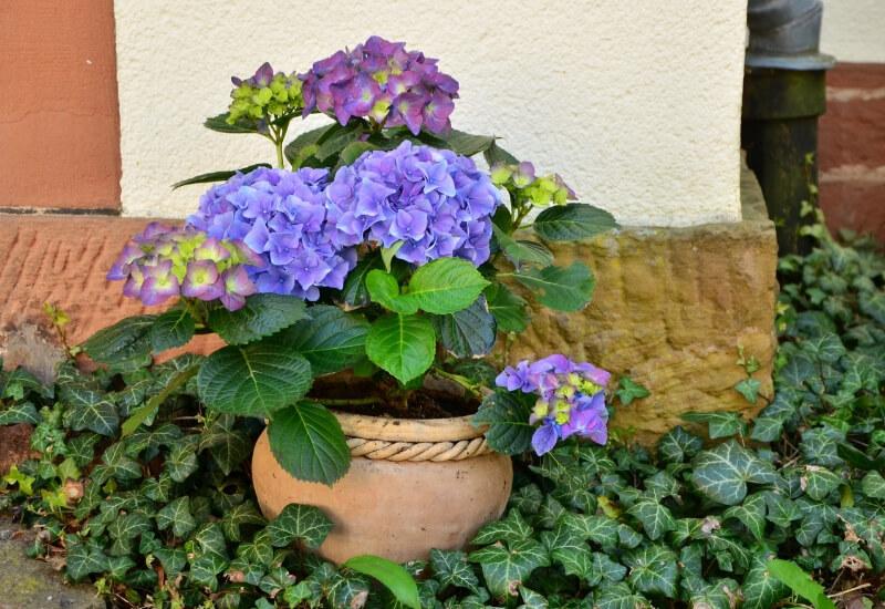 Hortensias en maceta rosas azules