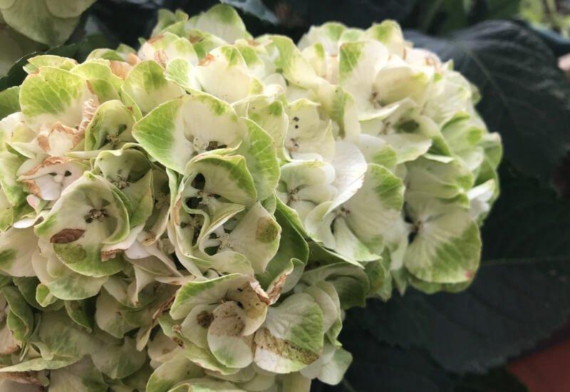 Manchas marrones en las flores blancas de las hortensias