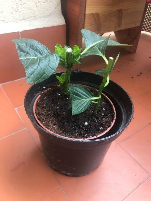 Plantar los esquejes de la hortensia en sustrato ácido