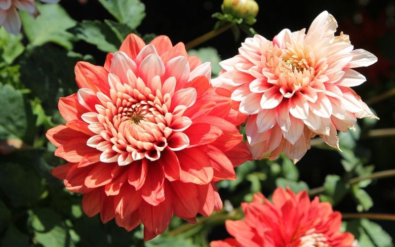 Las dalias tienen unas flores muy bonitas que resisten el sol