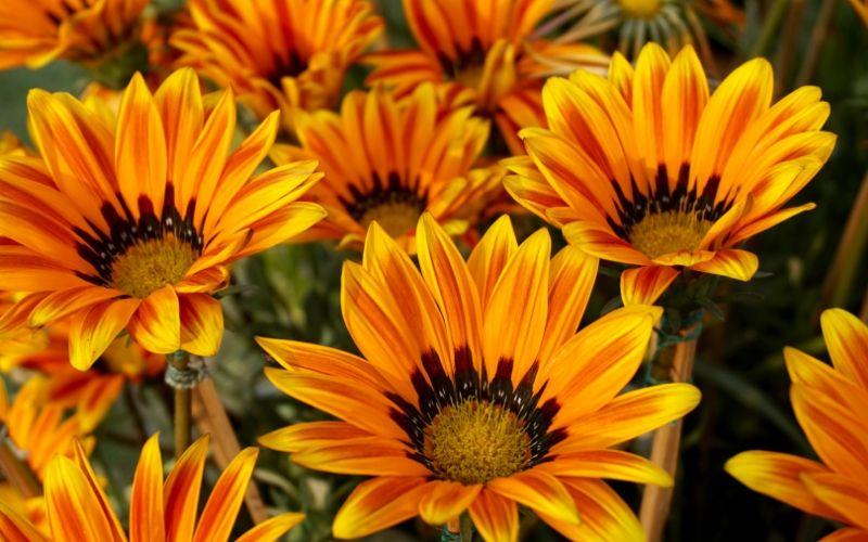 Las gazanias son consideradas malas hierbas y tienen unas flores preciosas