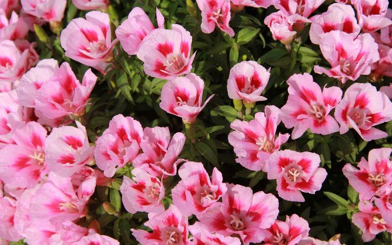 Portulacas, la suculenta con flores más vistosas