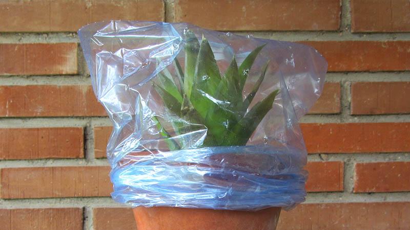 Maceta con una planta de piña cultivada en casa, con una bolsa transparente alrededor para crear un invernadero casero