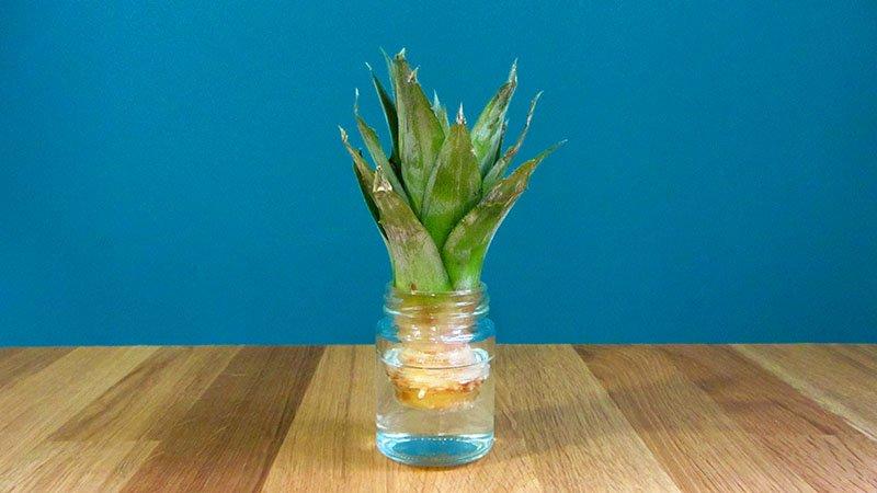 La parte superior de una piña recortada dentro de un tarro con agua para germinar las raíces de una nueva planta de piña