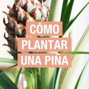 Cómo plantar una piña
