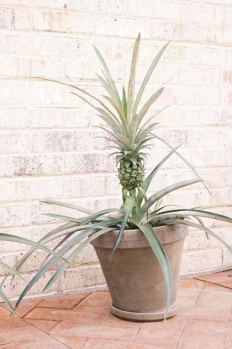 Planta de piña crecida con fruto en una maceta de terracota