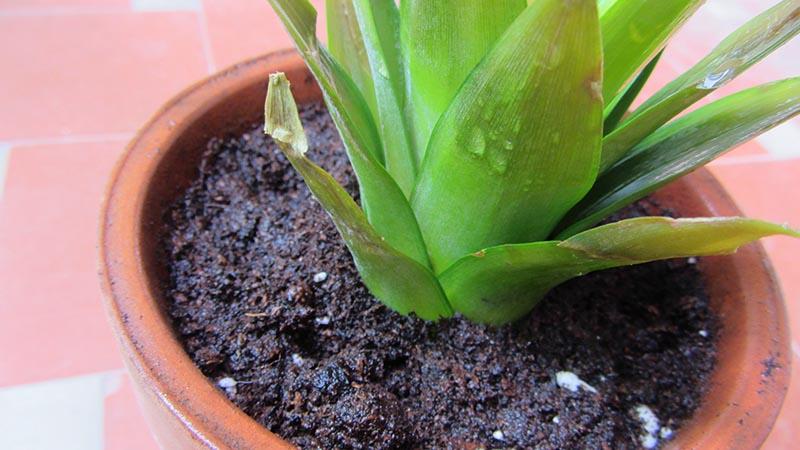 Detalle de una planta de piña cultivada en casa recién regada