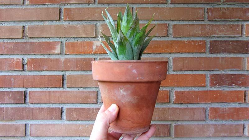 Maceta de terracota con una piña recién plantada sobre un fondo de ladrillos