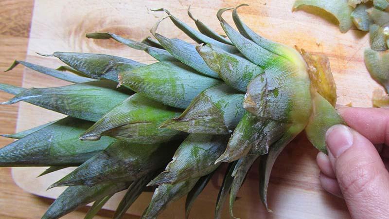 Una mano retira hojas de la corona de una piña, para replantar la piña
