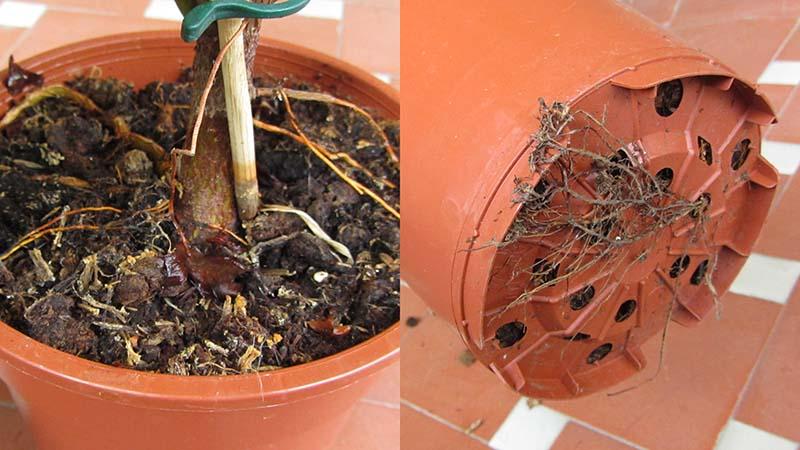 Raíces sobresaliendo de una maceta que indican que hay que trasplantar la planta