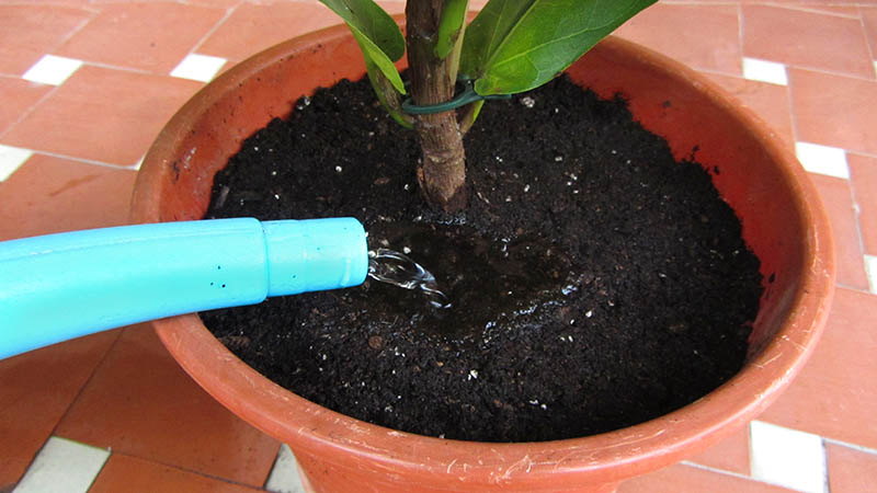 Después de trasplantar una planta, la regamos con una regadera azul