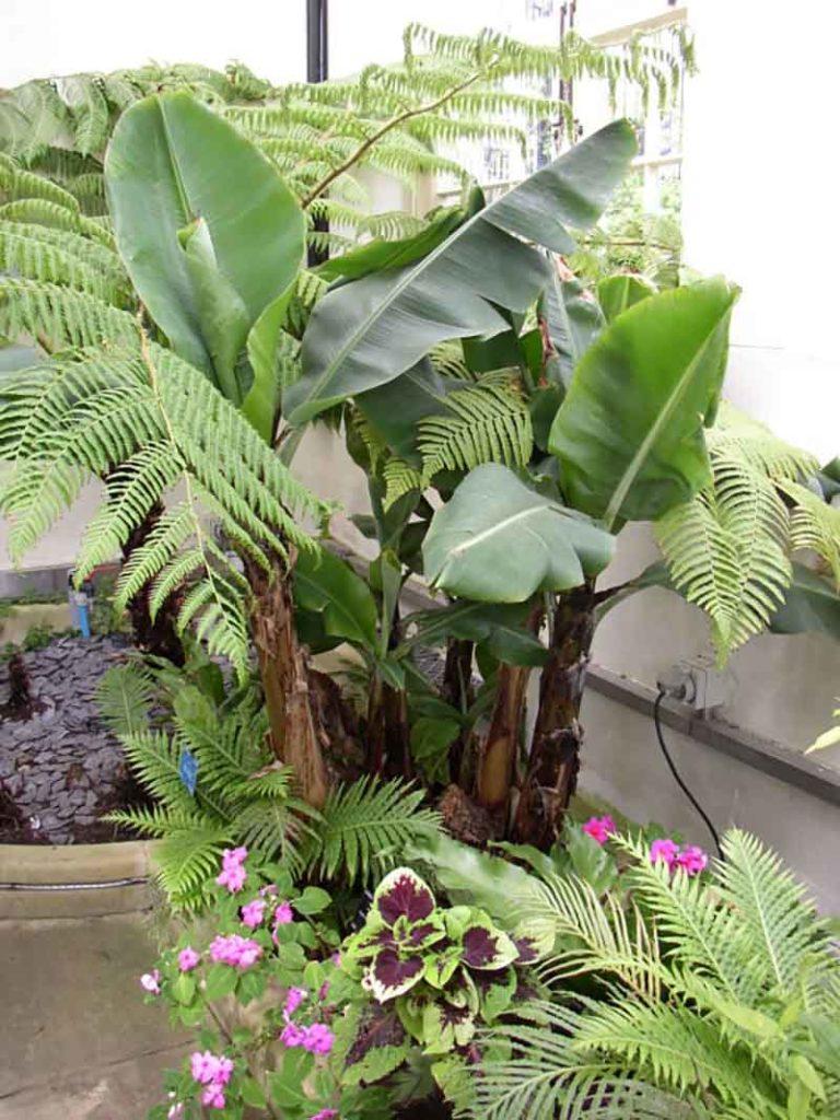 Una planta de platanera alta rodeada de helechos y otras plantas más bajas