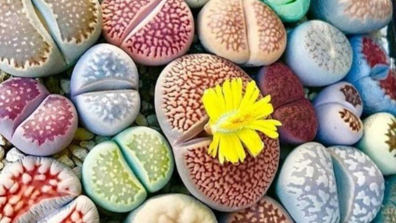 Lithops o plantas piedra
