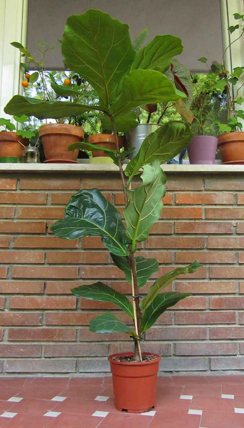 Planta de ficus lira muy grande que necesita ser trasplantada