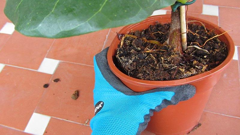 Una mano con guante de jardinería aprieta una maceta de plástico para aflojar la planta y sacarla antes de trasplantar