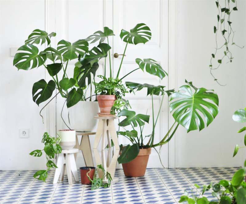 Varias plantas de Monstera Deliciosa juntas en diferentes maceteros sobre suelo de baldosas azules