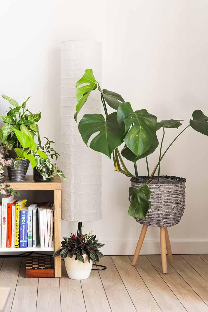 Una planta de Costilla de Adán en un macetero de mimbre junto a un estante de libros