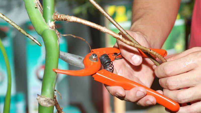 Unas manos a punto de podar con unas tijeras naranjas un tallo adulto de Monstera