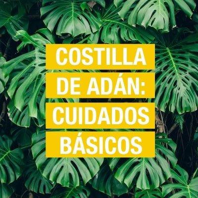 Costilla de Adán: Cuidados y consejos