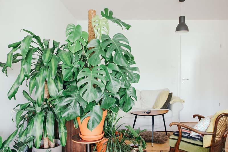 Salón de una casa con una gran planta de Costilla de Adán guiada por un tutor e musgo