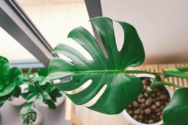 Costilla de Adán: Consejos de cuidado para limpiar las hojas y que queden brillantes