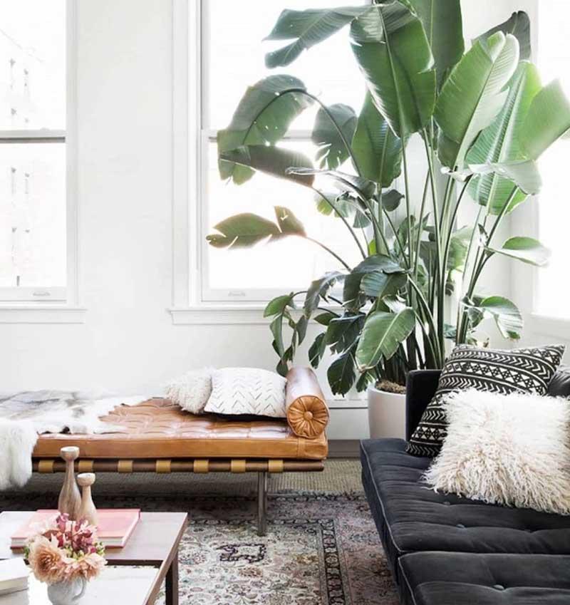 Una platanera muy grande que sirve para decorar un salón moderno con ventanas, mucha luz y dos sofás