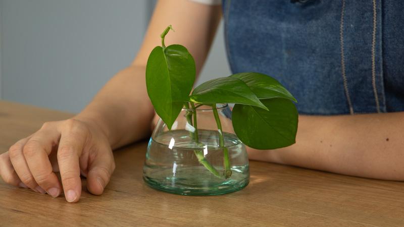 Introduce el esqueje en un recipiente con agua
