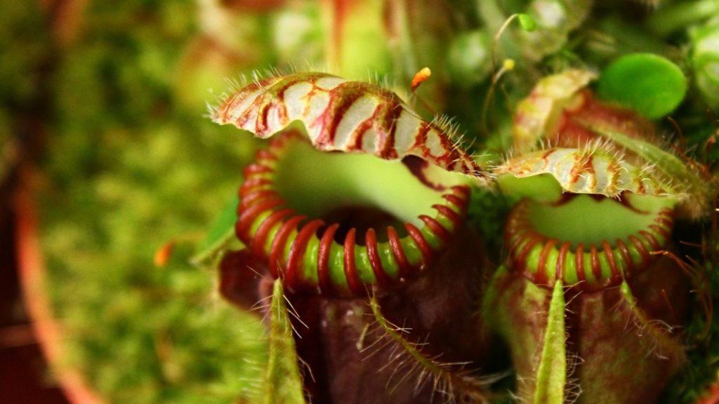 Detalle de las hojas de la Cephalotus Follicularis